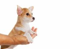 O cachorrinho da chihuahua relaxa e encontrando-se para baixo disponível Imagens de Stock Royalty Free