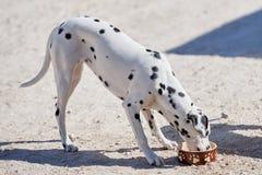 O cachorrinho Dalmatian come o alimento seco de uma bacia imagem de stock royalty free
