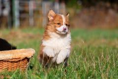 O cachorrinho de Elo está correndo no prado foto de stock
