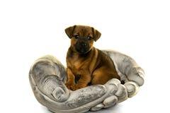 O cachorrinho de Jack Russel realizou nas mãos isoladas no branco Fotografia de Stock Royalty Free