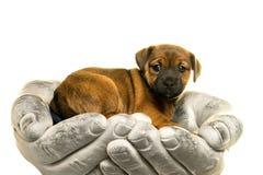 O cachorrinho de Jack Russel realizou nas mãos isoladas no branco Fotos de Stock Royalty Free