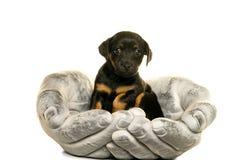 O cachorrinho de Jack Russel realizou nas mãos isoladas no branco Fotos de Stock