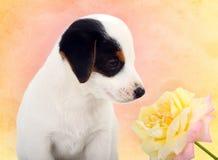 O cachorrinho de Jack Russell com um grande aumentou Imagens de Stock