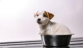 O cachorrinho de Jack Russell está sentando-se na bacia vazia com um olhar triste Animais de estimação dentro Conceito do aliment fotografia de stock royalty free