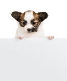 O cachorrinho de Papillon confia na bandeira vazia no fundo branco Foto de Stock Royalty Free