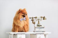 O cachorrinho de Pomeranian senta-se perto de um telefone retro Fotografia de Stock Royalty Free