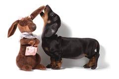 O cachorrinho do bassê está e aspira a orelha de um bassê do marrom do brinquedo em um fundo branco foto de stock royalty free