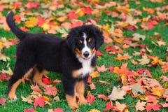 O cachorrinho do cão de montanha de Bernese está nas folhas de outono Imagens de Stock Royalty Free