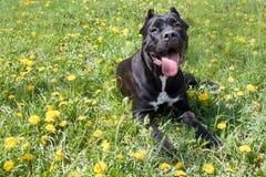 O cachorrinho do corso do bastão está encontrando-se em uma grama verde e está olhando-se a câmera Italiano do corso do bastão ou foto de stock