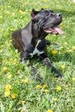 O cachorrinho do corso do bastão está encontrando-se em uma grama verde Italiano do corso do bastão ou mastim italiano Animais de fotos de stock royalty free