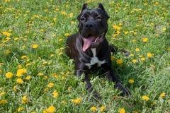 O cachorrinho do corso do bastão está encontrando-se em uma grama verde Italiano do corso do bastão ou mastim italiano Animais de fotos de stock