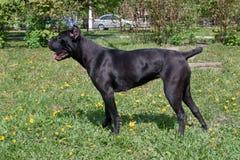O cachorrinho do corso do bastão está estando em uma grama verde Italiano do corso do bastão ou mastim italiano Animais de animal foto de stock