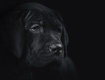 O cachorrinho do corso do bastão no fundo preto Imagens de Stock Royalty Free