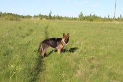 O cachorrinho do pastor alemão 10 meses Campo Fotografia de Stock