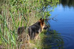 O cachorrinho do pastor alemão 10 meses Lago Imagens de Stock Royalty Free