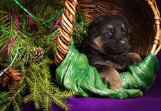 O cachorrinho do pastor alemão que encontra-se em uma cesta com abeto ramifica Fundo roxo Imagem de Stock