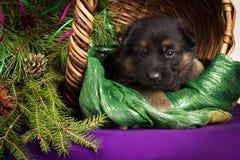 O cachorrinho do pastor alemão que encontra-se em uma cesta com abeto ramifica Fundo roxo Fotografia de Stock Royalty Free