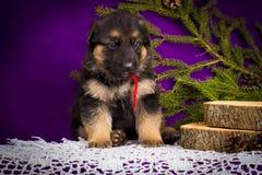O cachorrinho do pastor alemão que senta-se com abeto ramifica em um fundo roxo Imagens de Stock