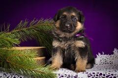 O cachorrinho do pastor alemão que senta-se com abeto ramifica em um fundo roxo Fotos de Stock Royalty Free