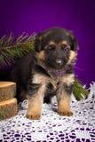 O cachorrinho do pastor alemão que senta-se com abeto ramifica em um fundo roxo Imagens de Stock Royalty Free
