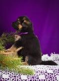 O cachorrinho do pastor alemão que senta-se com abeto ramifica em um fundo roxo Foto de Stock