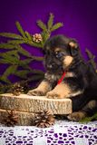 O cachorrinho do pastor alemão que senta-se com abeto ramifica em um fundo roxo Imagem de Stock