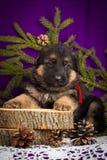 O cachorrinho do pastor alemão que senta-se com abeto ramifica em um fundo roxo Fotos de Stock