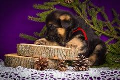 O cachorrinho do pastor alemão que senta-se com abeto ramifica em um fundo roxo Imagem de Stock Royalty Free