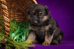 O cachorrinho do pastor alemão que senta-se em uma cesta com abeto ramifica Fundo roxo Imagens de Stock
