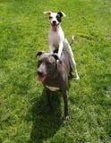 O cachorrinho do poço usa o big brother como uma rampa! imagem de stock