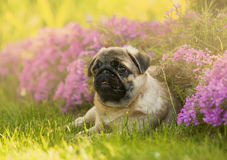 O cachorrinho do Pug encontra-se nas flores Fotografia de Stock Royalty Free