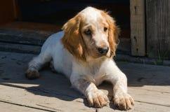 O cachorrinho do spaniel do russo 3 meses Imagem de Stock Royalty Free