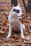 O cachorrinho do terrier de Staffordshire americano está sentando-se na folha do outono Fotografia de Stock Royalty Free