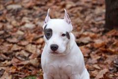 O cachorrinho do terrier de Staffordshire americano está sentando-se na folha do outono Foto de Stock