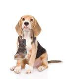 O cachorrinho guarda sapatas em sua boca Isolado no fundo branco Fotografia de Stock