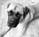 O cachorrinho inglês da mistura do mastim coloca no assoalho que olha acima foto de stock royalty free
