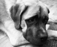 O cachorrinho inglês da mistura do mastim coloca no assoalho que olha acima imagem de stock royalty free