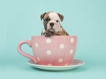 O cachorrinho inglês do buldogue que senta-se em um cor-de-rosa e em um branco pontilhou o copo e os pires em um fundo do azul de Imagens de Stock Royalty Free