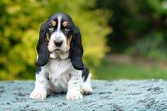 O cachorrinho novo triste do cão de basset olha direito na câmera fotografia de stock royalty free