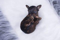 O cachorrinho olha pelos olhos do amor Fotos de Stock
