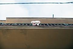 O cachorrinho pequeno bonito olha fora do balcão Foto de Stock Royalty Free