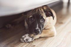 O cachorrinho pequeno encontra-se no assoalho sob a cama Fotos de Stock Royalty Free