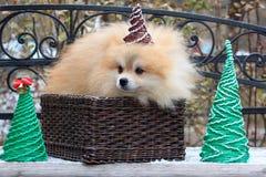 O cachorrinho pomeranian bonito está sentando-se em um vime da cesta Fotografia de Stock