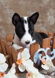 O cachorrinho preto do cão de Basenji está sentando-se na cesta fotos de stock royalty free