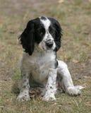 O cachorrinho preto e branco do spaniel Imagens de Stock