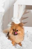 O cachorrinho que lambe seu nariz na neve no estúdio Fotografia de Stock
