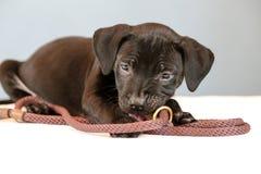 O cachorrinho quer ir para uma caminhada Foto de Stock Royalty Free