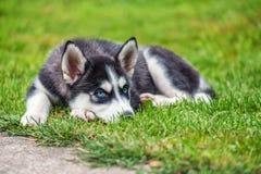 O cachorrinho ronco está na grama fotografia de stock
