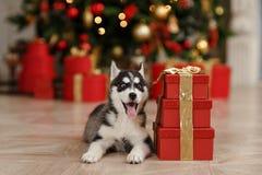 O cachorrinho ronco preto e branco em uma árvore de Natal está dentro Fotos de Stock