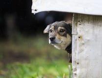 O cachorrinho triste colou para fora seu nariz e espreitar fora de sua cabine no rai Imagem de Stock